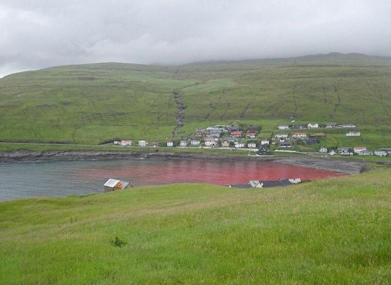 Кровавый забой китов в прису…