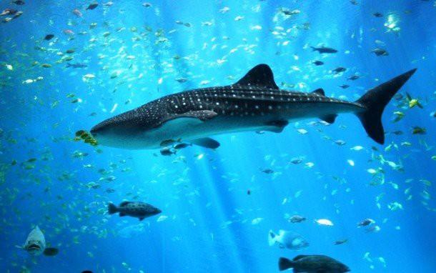 24. Китовая акула животные, факты