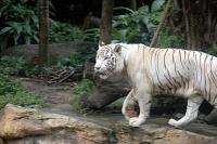 Белые тигры 40