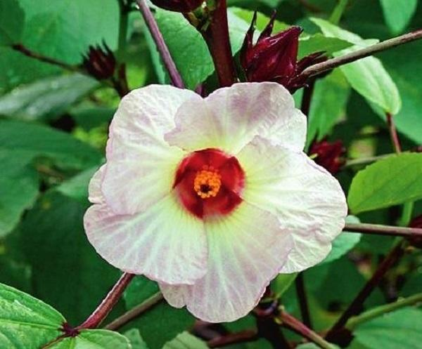 Суданская роза (Hibiskus sabdariffa)