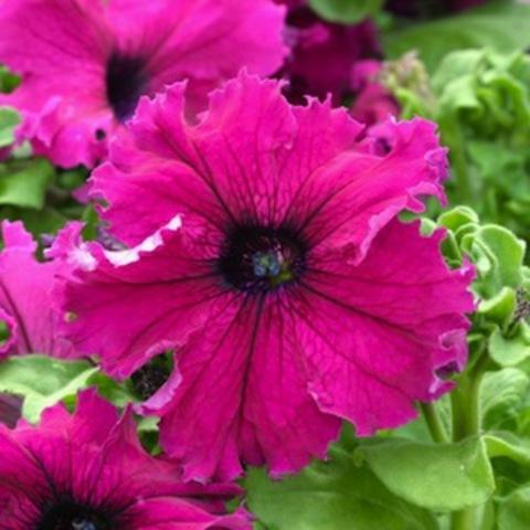 Петуния Фриллитуния Бургунди (Petunia Frillytunia Burgundy)