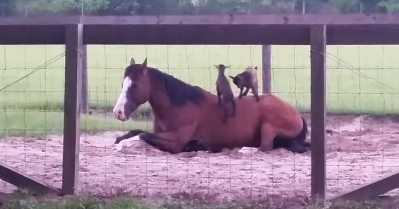 Козлята пытаются забраться на лошадь. Ее спокойствию можно только позавидовать!