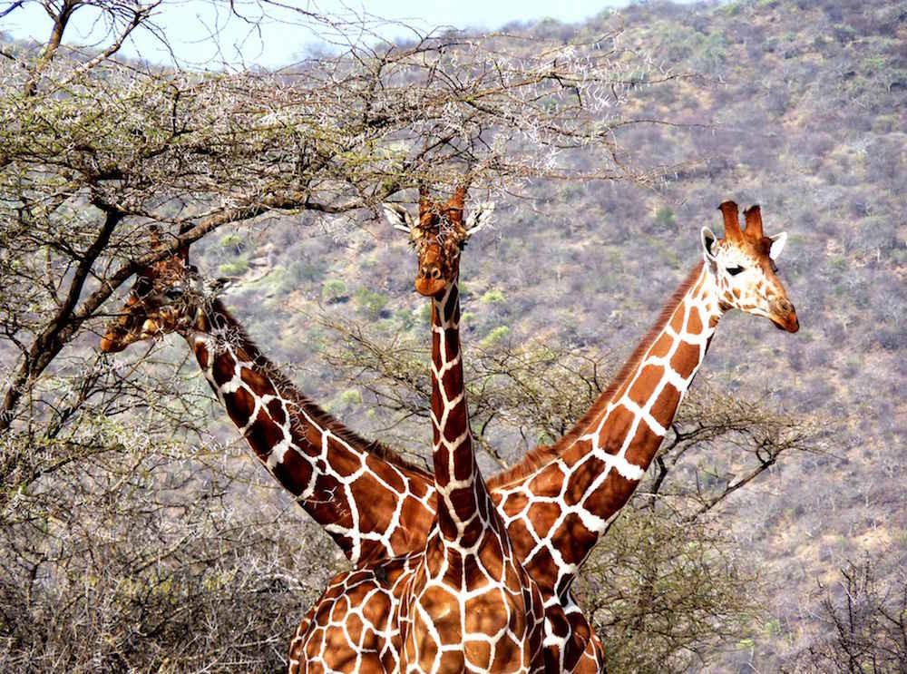 5. Жираф-горыныч. люди, мир, удивительные фотографии