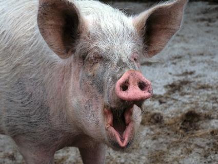 Свинья в религии и мифологии