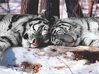 Белые тигры 20