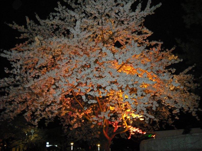 Японская сакура с ночной подсветкой. Фото