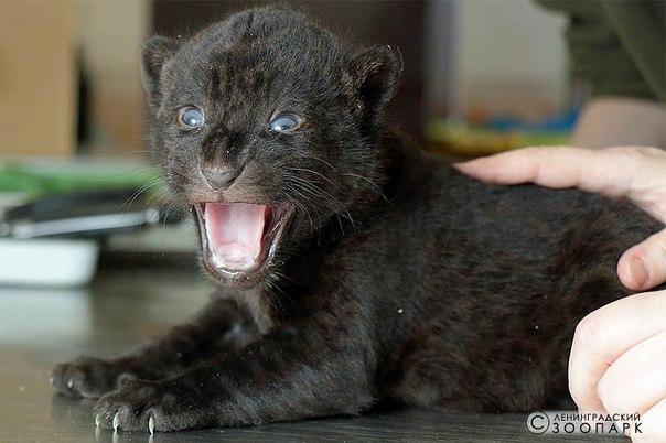 Новое потомство ягуаров в ленинградском зоопарке