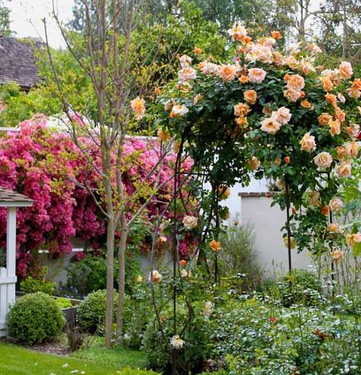 неправильно подвязанный куст плетистой розы