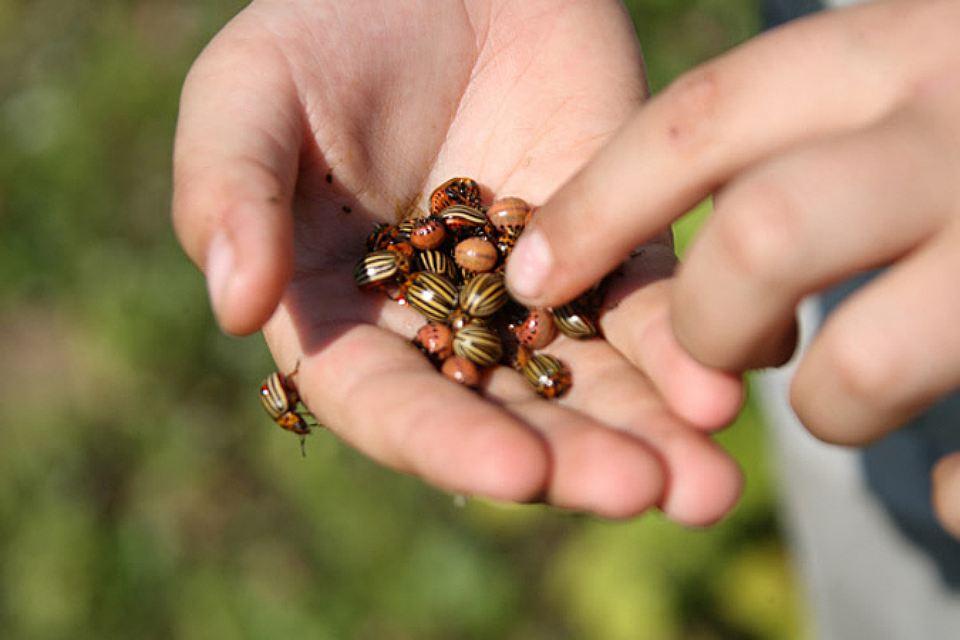 Как без химии отражать атаки колорадского жука?