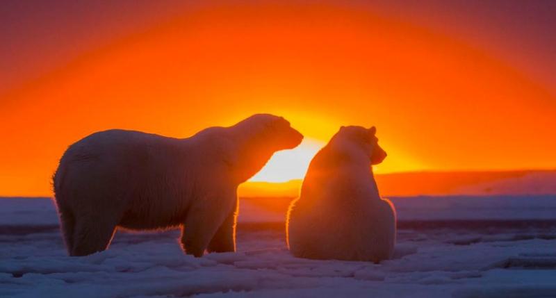 Белые медведи наблюдают за з…