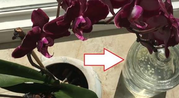 Чеснок — спасение для орхиде…