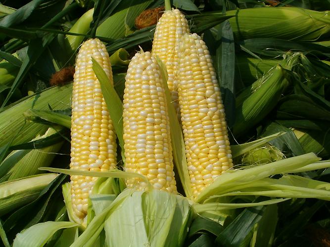 США: Состояние посевов кукурузы и озимой пшеницы улучшилось / Казбренд