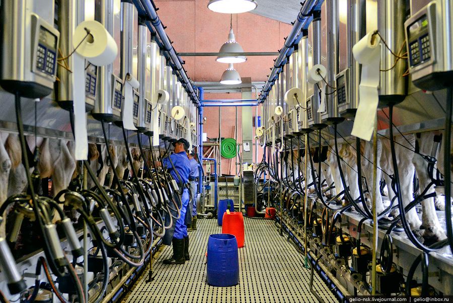 073 Производство молока: Племзавод Ирмень в Новосибирской области