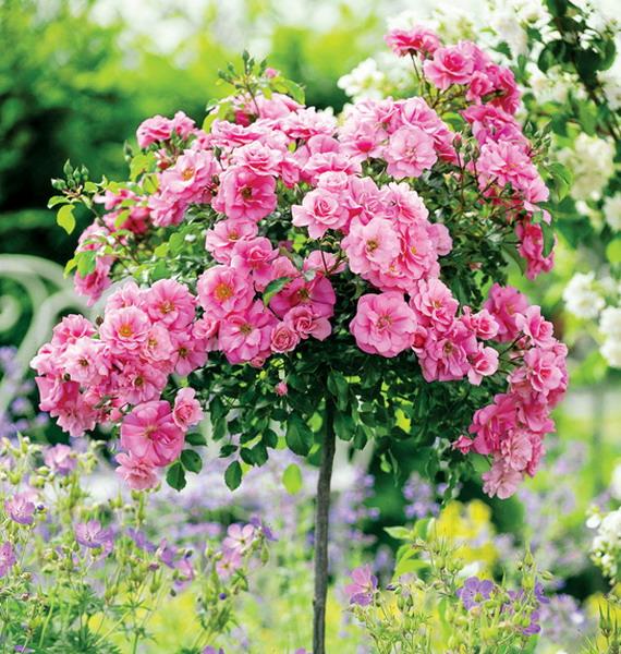 4497432_rosesingardeninspiration (570x600, 177Kb)