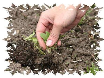 способы борьбы с сорняками