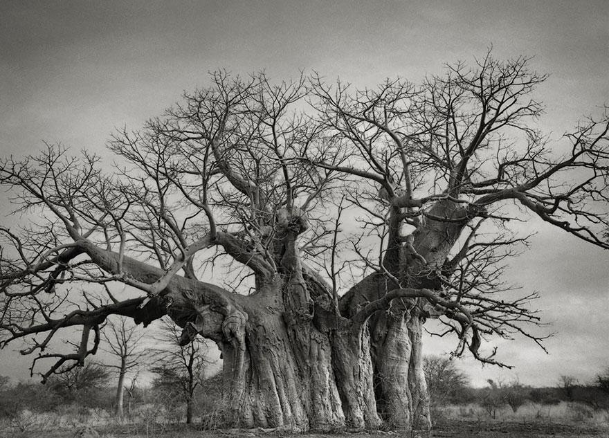 Деревья древние как мир в фотографиях из 14-летнего путешествия-3