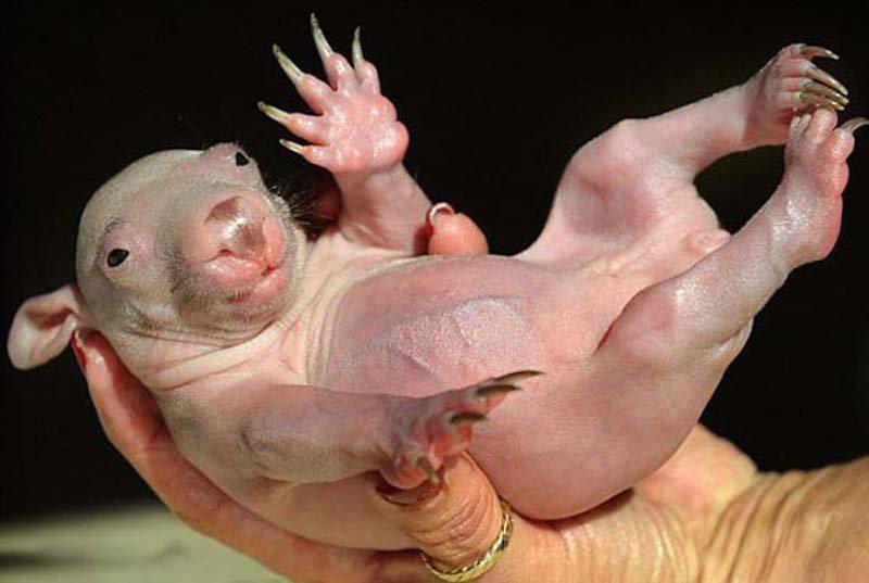 15. Вомбат. Животные без шерсти, Этот удивительный мир, животные