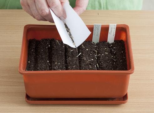 бархатцы, выращивание рассады, посев семян