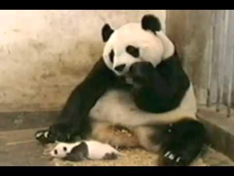 Детеныш панды напугал свою маму (видео)