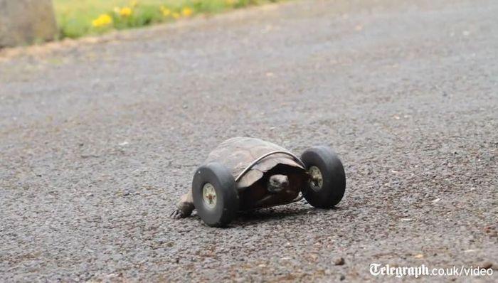 90-летней черепахе пришили колеса вместо утраченных лап