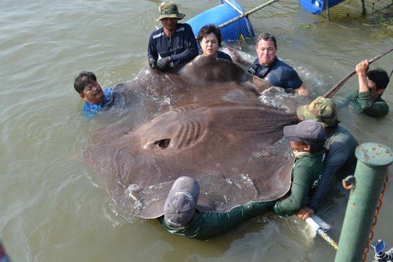 В Таиланде на удочку поймали крупнейшую пресноводную рыбу в мире
