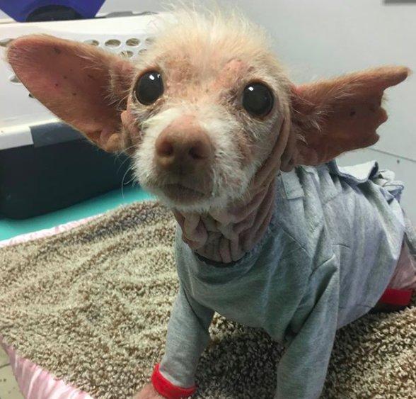 Необычная лысая собака с бол…
