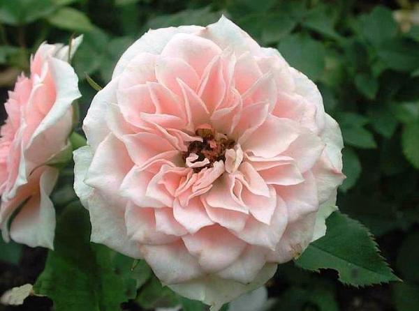 Роза миниатюрная сорт Daniela, фото сайта queen-flowers.ru