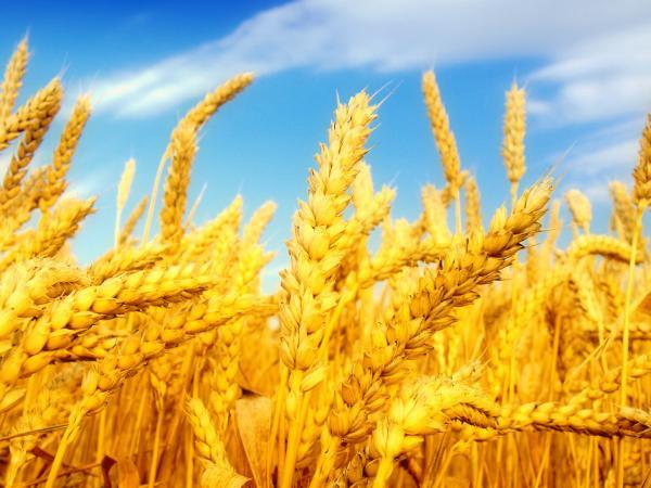 Генетически модифицированная пшеница разочаровала учёных
