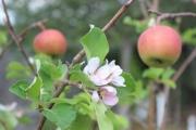 В Беларуси зацвели каштаны и яблони