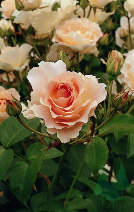 Роза 'Rokoko'
