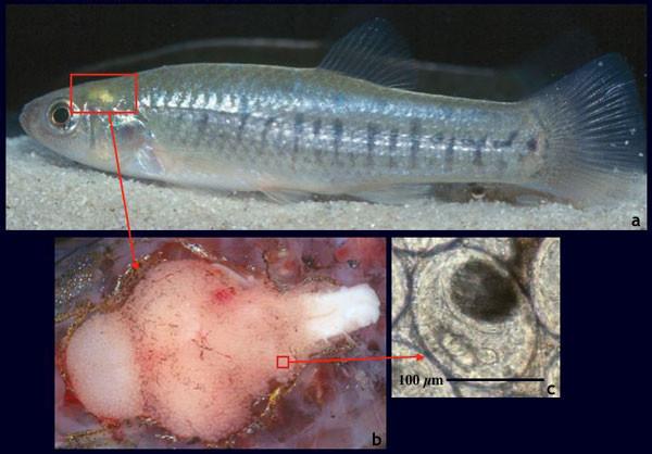 Euhaplorchis californiensis вирус, мозг, паразиты