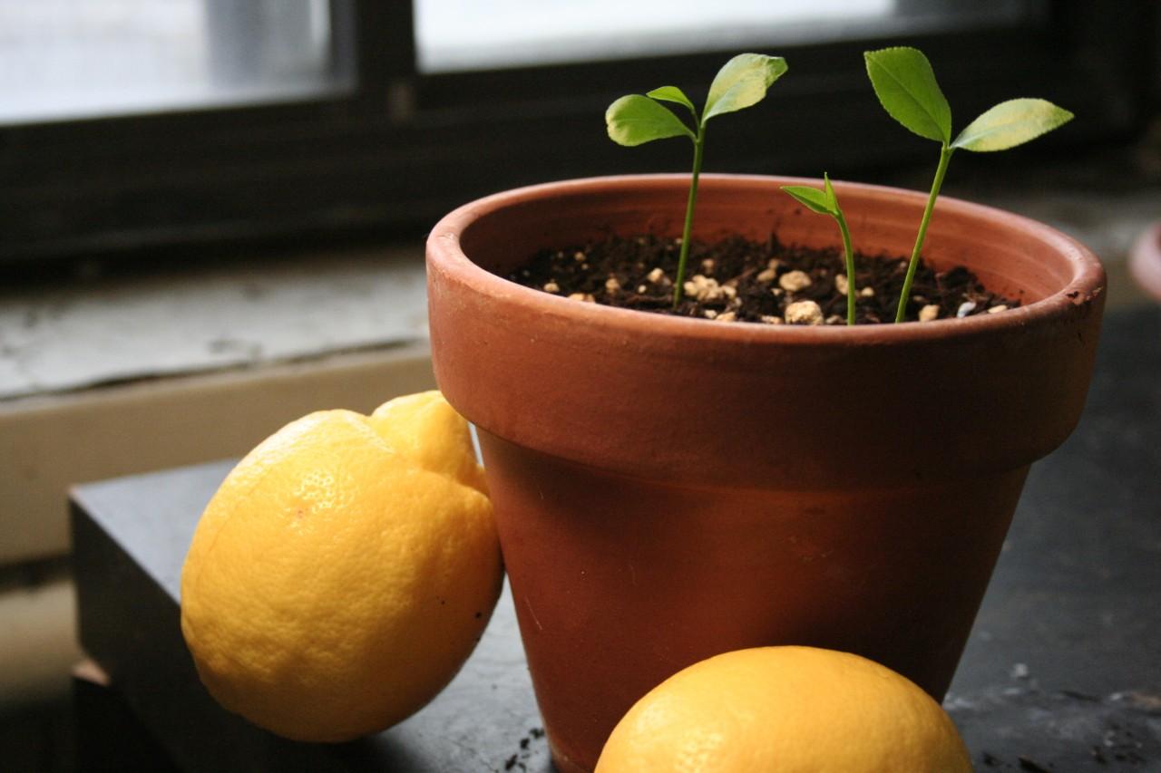 Как вырастить из косточки лимон в домашних условиях?