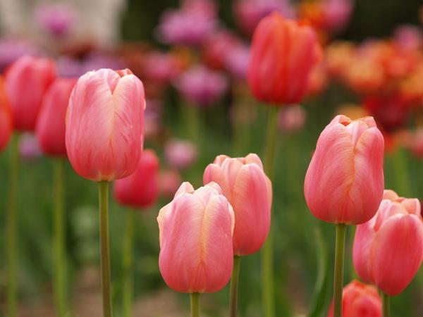Чем подкормить тюльпаны?