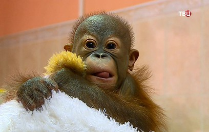 Детский нейрохирург из Новосибирска спас новорожденного орангутана