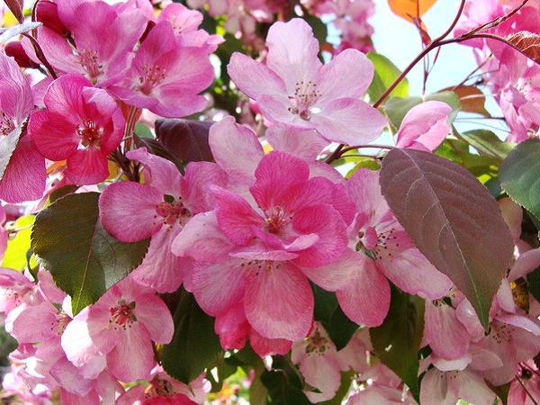 Декоративные яблони: виды, выращивание и размещение на даче