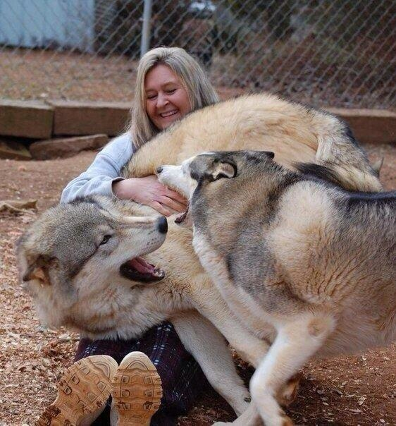 Чудо природы: гибрид волка и собаки