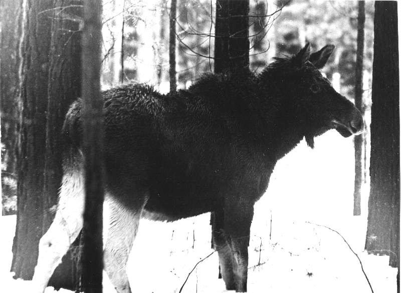 Боевые лоси советской армии: Как создавалась лосиная кавалерия война, факты, финская война