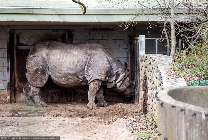 Индийского носорог. По размерам в Азии уступающего только слону.
