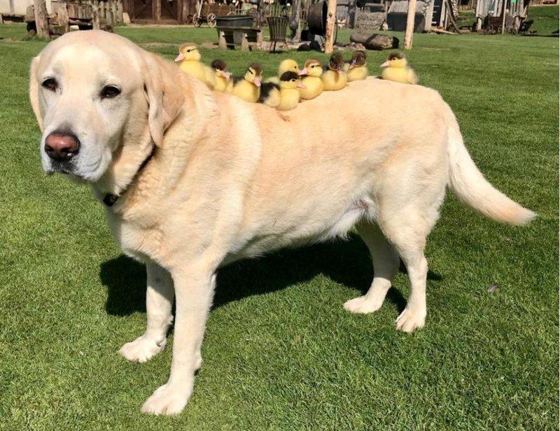 Старая собака стала папой для осиротевших утят