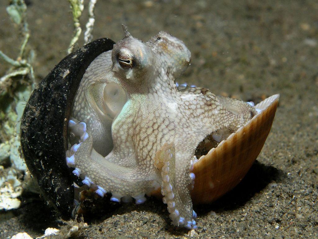 Осьминоги - разумные головоногие