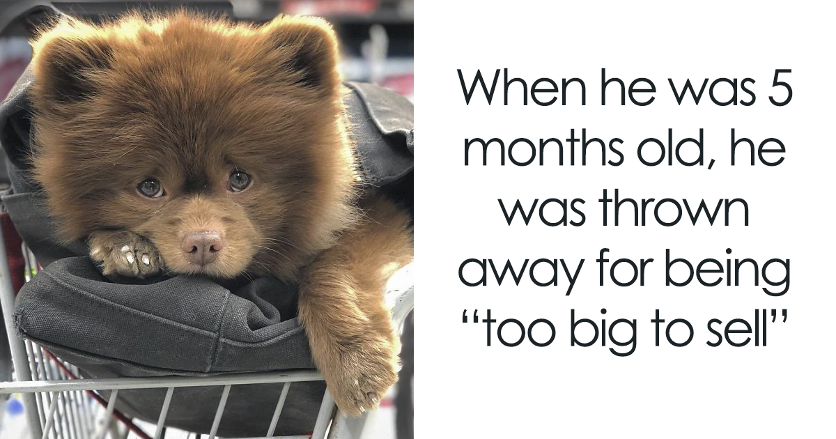 "Breeder Abandoned This 'Baby Bear' Dog Because He Was ""Too Big"" But Now He's Going Viral"