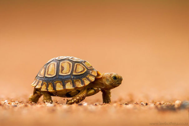 18. Маленькая сухопутная черепашка ниндзя, питомцы, черепахи