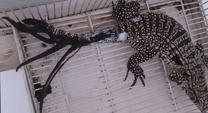 Аргентинская ящерица отрастила шесть новых хвостов