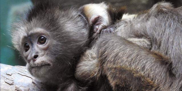 Очаровательный малыш родился в семье капуцинов плакс в Московском зоопарке. Видео