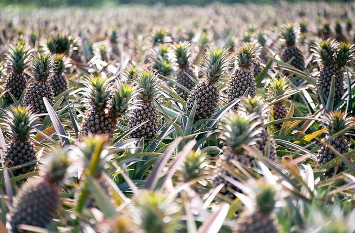 Многолетнее травянистое плодовое растение семейства бромелиевых.