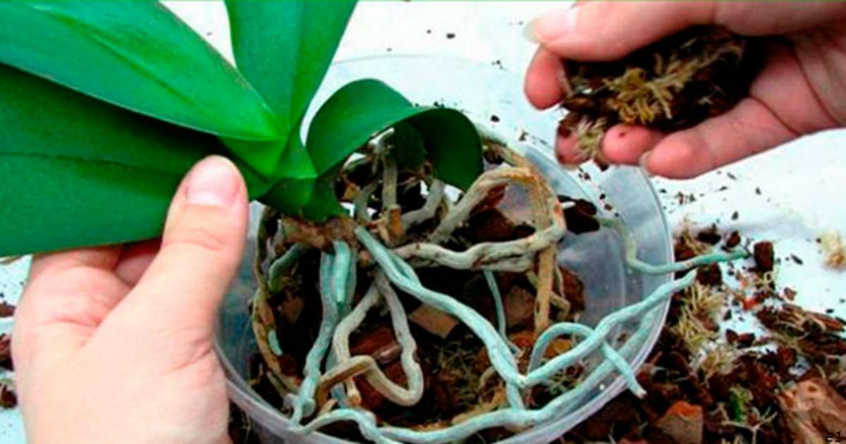 Если гниют или сохнут корни орхидеи, их еще можно спасти! Вот что делать