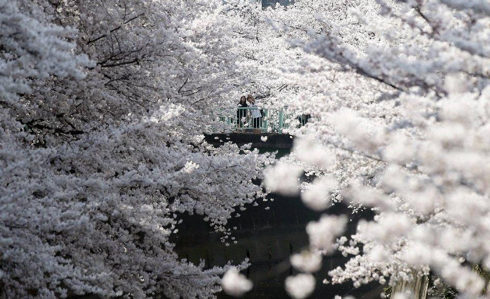 традиция любования цветущей сакурой-13