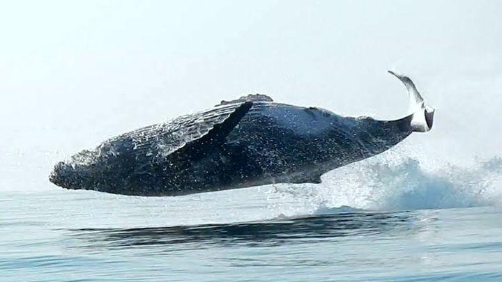 40-тонная горбатая китиха полностью выпрыгивает из воды, словно дельфин