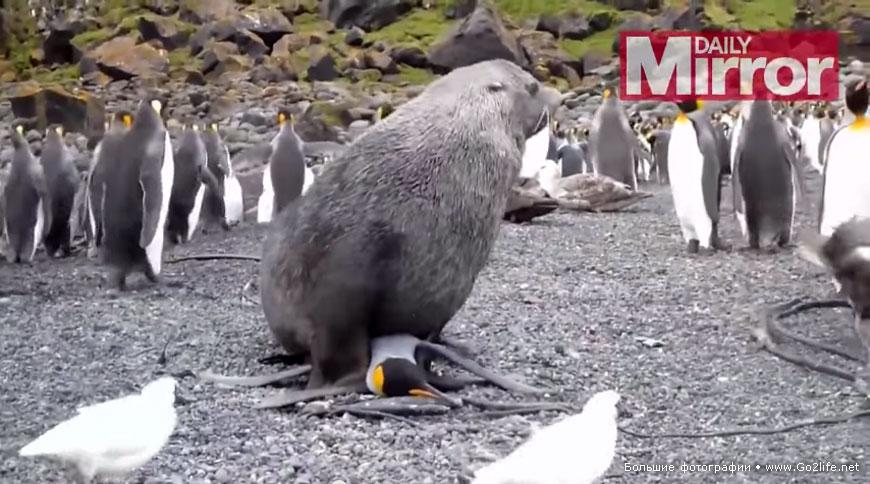 Пингвин и тюлень секс