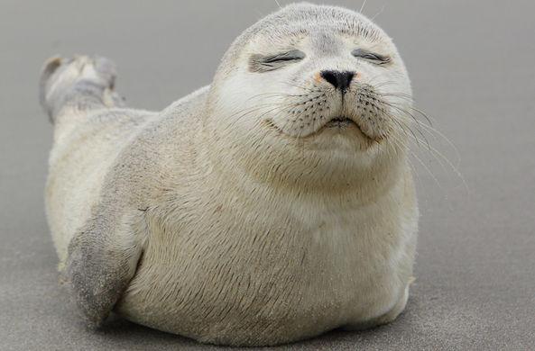 В Петербурге нерпа подружилась с тюленем